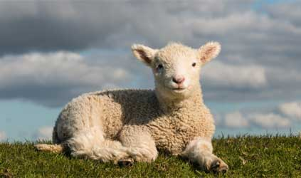 Basking little lamb (Photo by pstedrak)